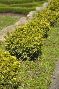 tuin beplanting onderhouden met heggenschaar