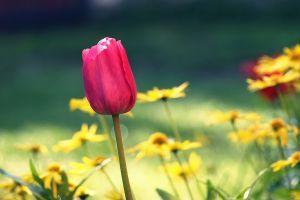 tulp in tuin